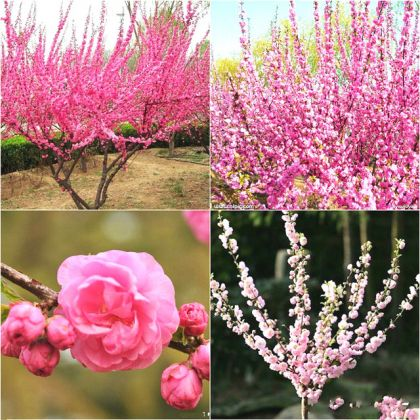 Pom Ornamental Prunus TRILOBA