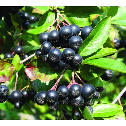 Arbust fructifer ARONIA MELANOCARPA