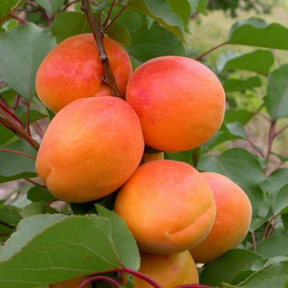 Pom fructifer cais HARCOT