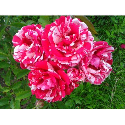 Butas trandafir PAPAGENA