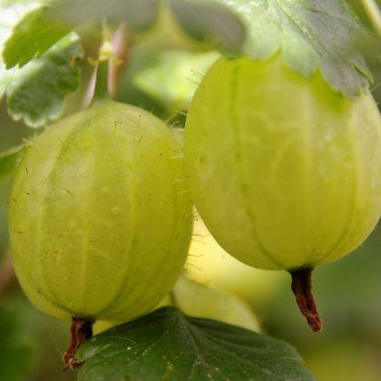 Butasi arbusti fructiferi INVICTA