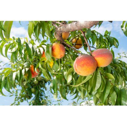 Pom fructifer Piersic PADANA