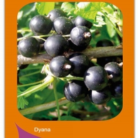 Arbusti fructiferi COACAZ NEGRU DYANA