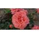 Butas trandafir KIMONO POLYANTHA