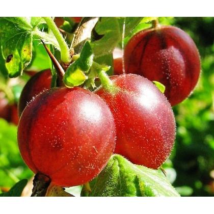 Arbusti fructiferi AGRIS ROSU ROLANDA
