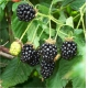 Arbusti fructiferi MUR THORNFREE