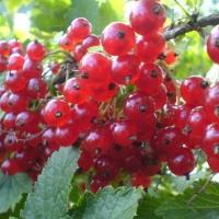 Arbusti fructiferi COACAZ ROSU RONDOM